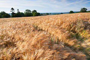 Ripe Barley crop in field, Haregill Lodge Farm, Ellingstring, North Yorkshire, England, UK, July. - Paul Harris / 2020VISION