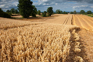 Ripe Oat crop with Combine harvester in distance, Haregill Lodge Farm, Ellingstring, North Yorkshire, England, UK, August. - Paul Harris / 2020VISION