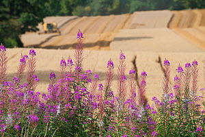 Rosebay Willowherb (Chamerion angustifolium angustifolium), with Combine harvester harvesting Oats in the background, Haregill Lodge Farm, Ellingstring, North Yorkshire, England, UK, August.  -  Paul Harris / 2020VISION