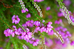 Close up of flowering Coomon heath / Ling  (Calluna vulgaris) and pink Bell Heather (Erica cinerea), Caesar's Camp, Fleet, Hampshire, England, UK, August.  -  Paul Harris / 2020VISION