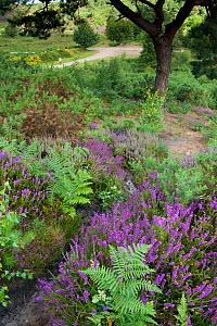 Flowering Heather  and Bracken on lowland heath, with path in the background, Caesar's Camp, Fleet, Hampshire, England, UK, August - Paul Harris / 2020VISION