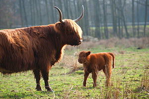 Highland cattle with calf, Foxlease and Ancells Meadows SSSI, Hampshire, England, UK, March.  -  Paul Harris / 2020VISION