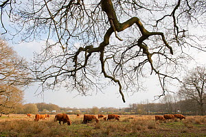 Highland cattle herd grazing at Foxlease and Ancells Meadows SSSI, Hampshire, England, UK, March.  -  Paul Harris / 2020VISION