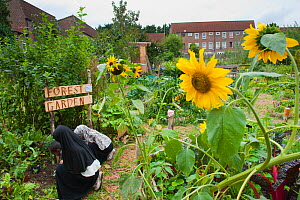 People working and looking around in Evelyn Community Gardens, with Sunflowers (Helianthus annus) Deptford, London, England, UK, August 2011. - Paul Harris / 2020VISION