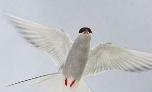 Arctic tern (Sterna paradisaea) in flight flashed against white sky to accentuate high-key light of white-on-white, Inner Farne, Farne Islands, Northumberland, July 2011.  -  Rob Jordan / 2020VISION