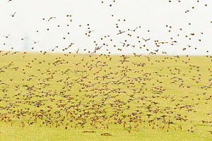 Flock of Linnets (Carduelis cannabina) taking-off from grazing marshes, Elmley Nature Reserve, Kent, England, UK, February. - Terry Whittaker / 2020VISION