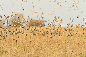 Flock of Linnets (Carduelis cannabina) flying up after feeding on conservation crop grown for farmland birds, Elmley Nature Reserve, Kent, England, UK, February. - Terry Whittaker / 2020VISION