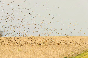 Flock of Linnets (Carduelis cannabina) landing on conservation crop grown for farmland birds, Elmley Nature Reserve, Kent, England, UK, February. - Terry Whittaker / 2020VISION