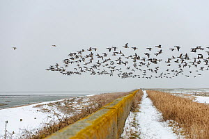 Flock of Dark-bellied brent geese (Branta bernicla) flying over sea wall, South Swale, Kent, England, UK  -  Terry Whittaker / 2020VISION