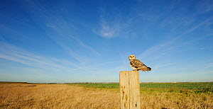 Short-eared owl (Asio flammeus) perched on post at edge of conservation margin and arable crop, Wallasea Island Wild Coast project, Essex, England, UK, January.  -  Terry Whittaker / 2020VISION