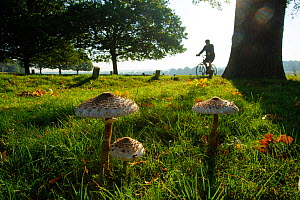 Parasol mushrooms (Lepiota procera), Richmond Park, London, England, UK, September. Did you know? One way to identify mushrooms is the colour of the spores, for example this mushroom's spores are whit...  -  Terry Whittaker / 2020VISION