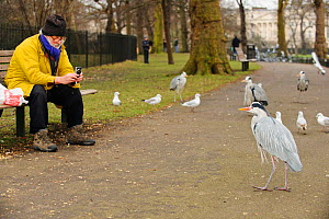 Man sitting on a park bench photographing Grey heron (Ardea cinerea), Regents Park, London, England, UK, February  -  Terry Whittaker / 2020VISION