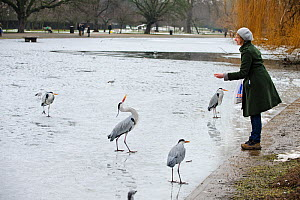 Woman on the shore of a frozen lake, feeding a group of Grey herons (Ardea cinerea), Regents Park, London, England, UK, February. Model released.  -  Terry Whittaker / 2020VISION