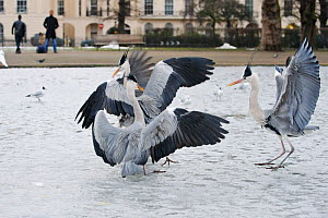 Grey herons (Ardea cinerea) fighting over food on a frozen lake, Regents Park, London, England, UK, February  -  Terry Whittaker / 2020VISION