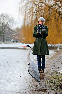 Woman photographing a Grey heron (Ardea cinerea), Regents Park, London, England, UK. Model released.  -  Terry Whittaker / 2020VISION