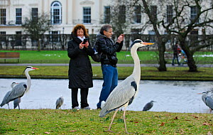 Two people photographing Grey herons (Ardea cinerea) with phone cameras, Regents Park, London, England, UK, February  -  Terry Whittaker / 2020VISION