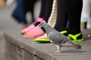 Feral pigeon (Columba livia) on ground, with people's feet in the background, South Bank, London, England, UK, September. Did you know? In the 16th Century England pigeon guano was the only source of...  -  Terry Whittaker / 2020VISION