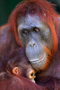 Bornean Orangutan (Pongo pygmaeus wurmbii) female 'Unyuk' holding her daughter 'Ursula' age 4. Camp Leakey, Tanjung Puting National Park, Central Kalimantan, Borneo, Indonesia. June 2010. Rehabilitate... - Fiona Rogers