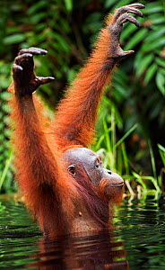 Bornean Orangutan (Pongo pygmaeus wurmbii) sub-adult male wading through water taking care to keep his balance as he is unable to swim. Camp Bulu, Lamandau Nature Reserve, Central Kalimantan, Borneo,...  -  Fiona Rogers