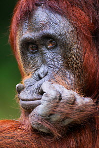Bornean Orangutan (Pongo pygmaeus wurmbii) female 'Tutut' resting her head on her hand. Camp Leakey, Tanjung Puting National Park, Central Kalimantan, Borneo, Indonesia. July 2010. Rehabilitated and r... - Fiona Rogers