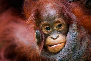 Bornean Orangutan (Pongo pygmaeus wurmbii) female baby 'Petra' aged 12 months being groomed by her mother 'Peta' . Camp Leakey, Tanjung Puting National Park, Central Kalimantan, Borneo, Indonesia. Jul... - Fiona Rogers