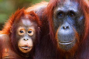 Bornean Orangutan (Pongo pygmaeus wurmbii)female 'Unyuk' and her daughter 'Ursula' aged 4 years. Camp Leakey, Tanjung Puting National Park, Central Kalimantan, Borneo, Indonesia. June 2010. Rehabilita... - Fiona Rogers