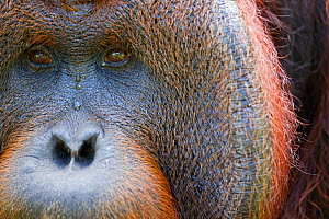 Bornean Orangutan (Pongo pygmaeus wurmbii) mature male 'Tom' close-up portrait showing cheek pad eyes and nose. Camp Leakey, Tanjung Puting National Park, Central Kalimantan, Borneo, Indonesia. June 2...  -  Anup Shah