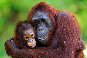 Bornean Orangutan (Pongo pygmaeus wurmbii) female 'Unyuk' cuddling her daughter 'Ursula', age 4 years. Camp Leakey, Tanjung Puting National Park, Central Kalimantan, Borneo, Indonesia. June 2010. Reha...  -  Anup Shah