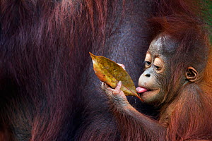 Bornean Orangutan (Pongo pygmaeus wurmbii) male baby 'Thor', age 8-9 months playing with a leaf. Camp Leakey, Tanjung Puting National Park, Central Kalimantan, Borneo, Indonesia. July 2010. Rehabilita...  -  Anup Shah