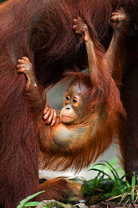 Bornean Orangutan (Pongo pygmaeus wurmbii) male baby 'Thor' aged 8-9 months hanging from his mother. Camp Leakey, Tanjung Puting National Park, Central Kalimantan, Borneo, Indonesia. July 2010. Rehabi...  -  Anup Shah