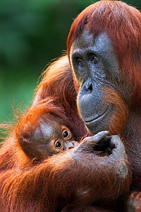 Bornean Orangutan (Pongo pygmaeus wurmbii) male baby 'Thor' aged 8-9 months held in his mother's arms. Camp Leakey, Tanjung Puting National Park, Central Kalimantan, Borneo, Indonesia. July 2010. Reha... - Anup Shah