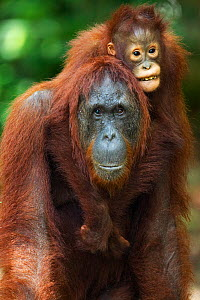 Bornean Orangutan (Pongo pygmaeus wurmbii) female 'Unyuk' carrying her daughter 'Ursula' aged 4 years on her back. Camp Leakey, Tanjung Puting National Park, Central Kalimantan, Borneo, Indonesia. Jun...  -  Anup Shah
