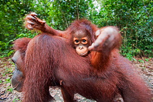 Bornean Orangutan (Pongo pygmaeus wurmbii) female baby 'Putri' aged 2 years riding on her mother's back reaching out with curiosity. Camp Leakey, Tanjung Puting National Park, Central Kalimantan, Born...  -  Anup Shah