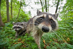 Raccoon (Procyon lotor) approaching camera,  Stanley park, Vancouver, British Columbia, Cananda, September.  -  Bertie Gregory