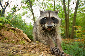 Raccoon (Procyon lotor) portrait, showing hands and  claws,  Stanley park, Vancouver, British Columbia, Cananda, September.  -  Bertie Gregory
