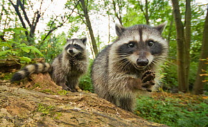 Raccoon (Procyon lotor) two, portraits showing hands and  claws,  Stanley park, Vancouver, British Columbia, Cananda, September.  -  Bertie Gregory