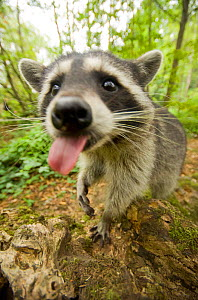 Raccoon (Procyon lotor) approaching camera, licking, Stanley park, Vancouver, British Columbia, Cananda, September.  -  Bertie Gregory