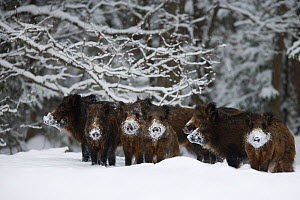Wild boar (Sus scrofa) herd with snow covered noses from feeding, Alam-Pedja Nature reserve, Estonia, February 2006  -  Wild Wonders of Europe / Zacek