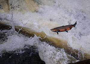 Sea trout (Salmo trutta) leaping above water migrating upstream, Vester Herred, Bornholm, Denmark, October 2009  -  Wild Wonders of Europe / Falklind