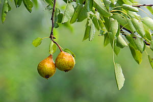 Two pears hanging from a branch in an allotment, Grande-Synthe, Dunkirk, France, September 2010  -  Wild Wonders of Europe / Préau