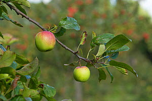 Apples growing on branch in alottment, Grande-Synthe, Dunkirk, France, September 2010  -  Wild Wonders of Europe / Préau