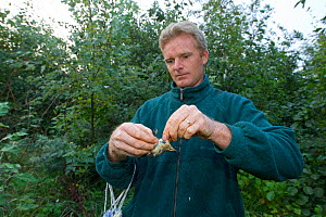 Man removing Spotted flycatcher (Muscicapa striata) from net, caught for ringing in an allotment, Grande-Synthe, Dunkirk, France, September 2010, model released  -  Wild Wonders of Europe / Préau