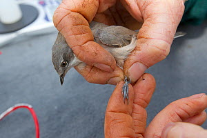 Man examining ring on Lesser whitethroat (Sylvia curruca) caught in net for ringing, in allotment, Grande-Synthe, Dunkirk, France, September 2010, model released  -  Wild Wonders of Europe / Préau