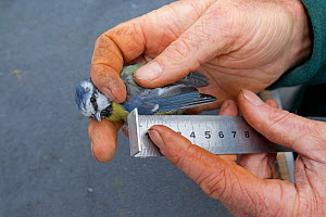 Man measuring Blue tit (Parus caeruleus) wing length, caught in net in allotment, Grande-Synthe, Dunkirk, France, September 2010, model released  -  Wild Wonders of Europe / Préau