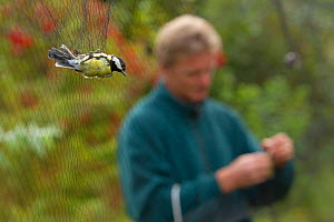 Great tit (Parus major) caught in mist net for ringing with a man removing another bird behind, in allotment, Grande-Synthe, Dunkirk, France, September 2010, model released  -  Wild Wonders of Europe / Préau