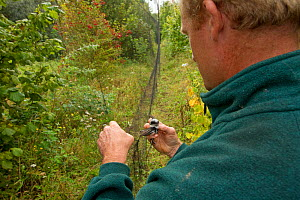 Man removing Long tailed tit (Aegithalos caudatus) from mist net for ringing, in allotment, Grande-Synthe, Dunkirk, France, September 2010, model released  -  Wild Wonders of Europe / Préau