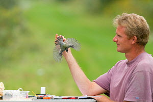 Man releasing Blackcap (Sylvia atricapilla) after ringing, caught in net for ringing in allotment, Grande-Synthe, Dunkirk, France, September 2010, model released  -  Wild Wonders of Europe / Préau