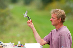 Man releasing Long tailed tit (Aegithalos caudatus) after ringing, caught in net for ringing in allotment, Grande-Synthe, Dunkirk, France, September 2010, model released  -  Wild Wonders of Europe / Préau