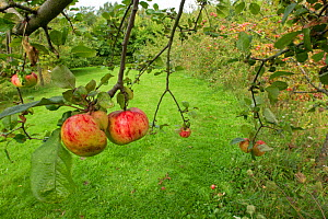 Apples on tree in allotment, Grande-Synthe, Dunkirk, France, September 2010  -  Wild Wonders of Europe / Préau