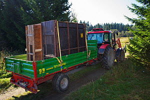 Tractor transporting two crates with European bison / Wisent (Bison bonasus) donated by Prague Zoo to an accomodation enclosure in Bieszczady National Park, Bukowiec, Poland, September 2011  -  Wild Wonders of Europe / Möllers